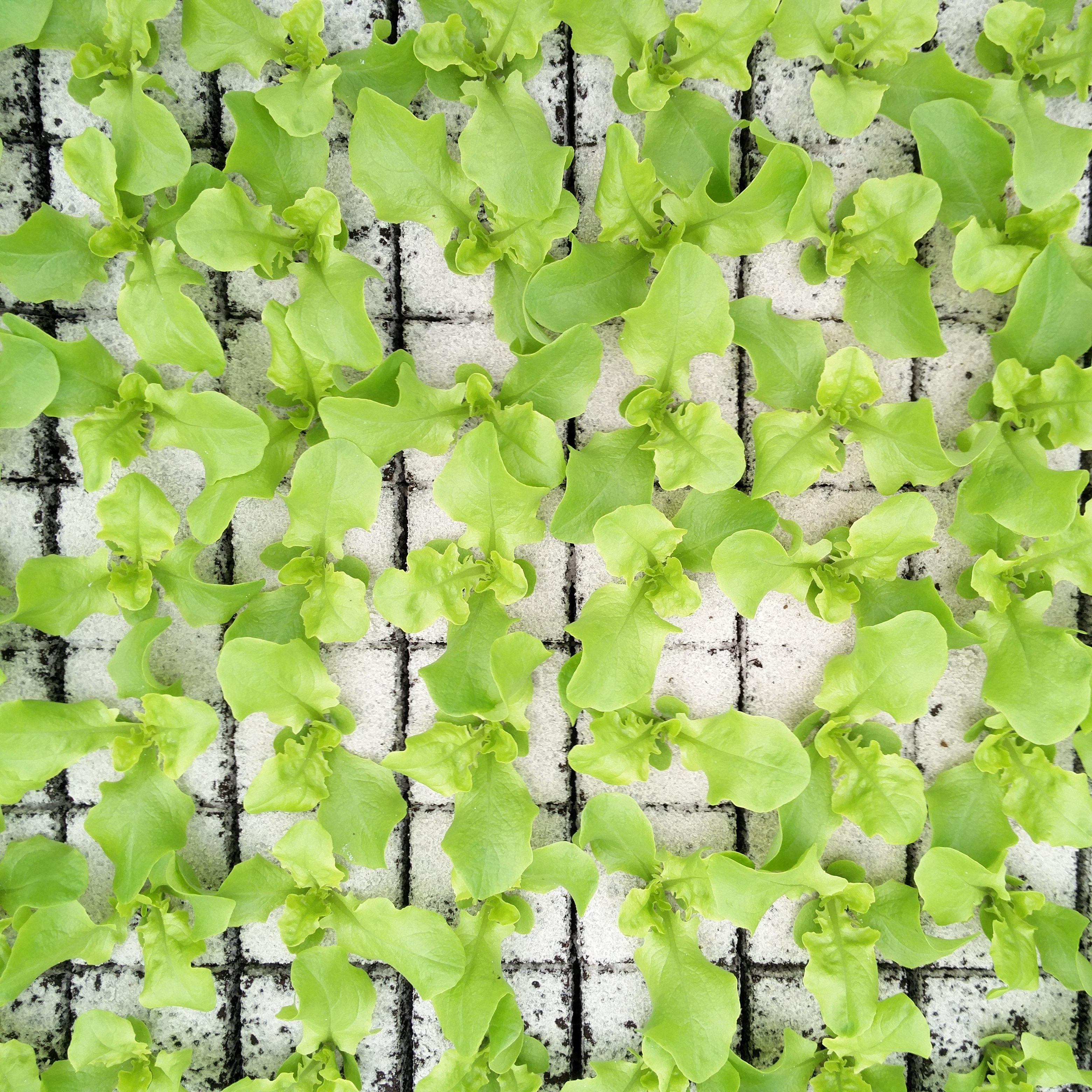 Eikeblad groen Image