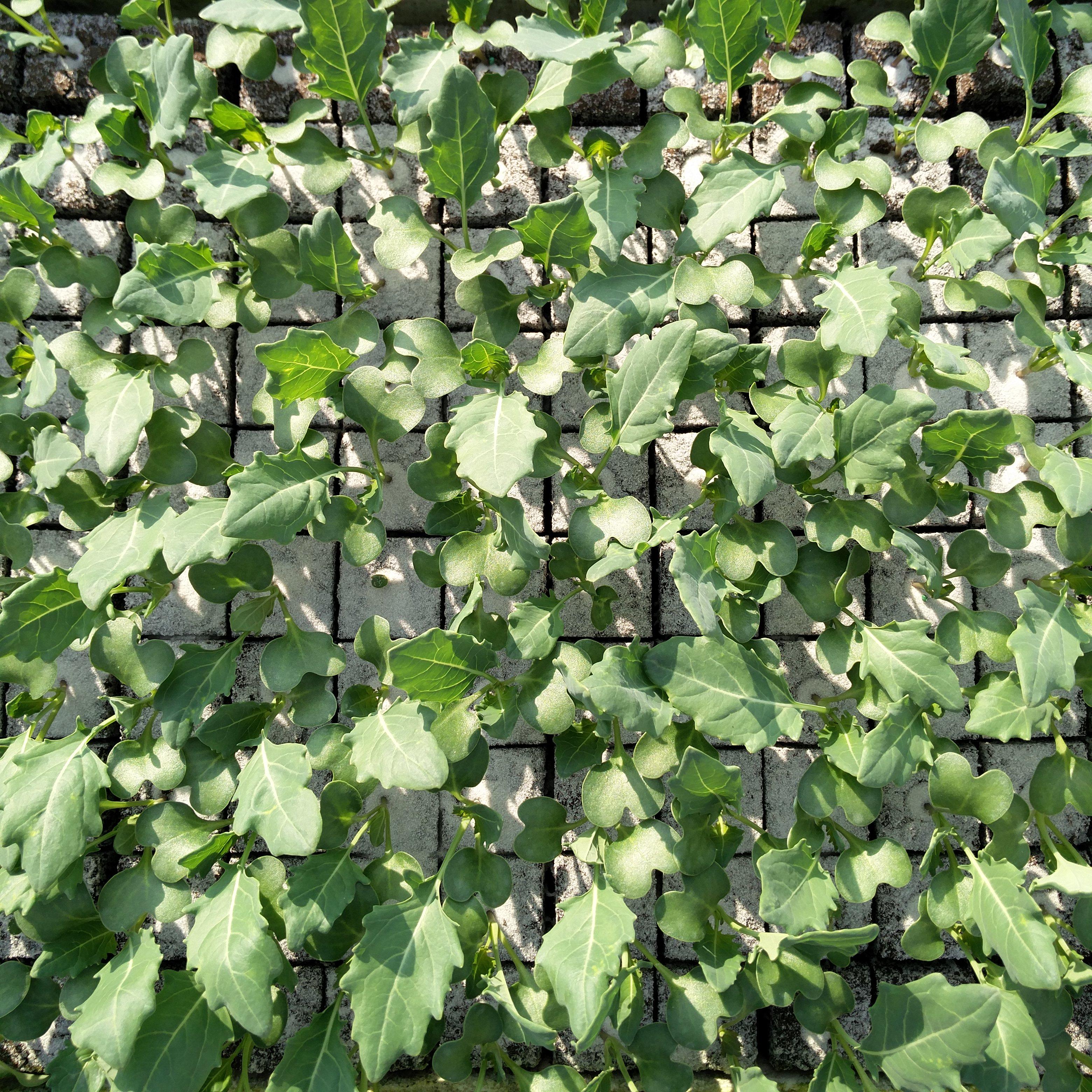 Koolrabi groen Image
