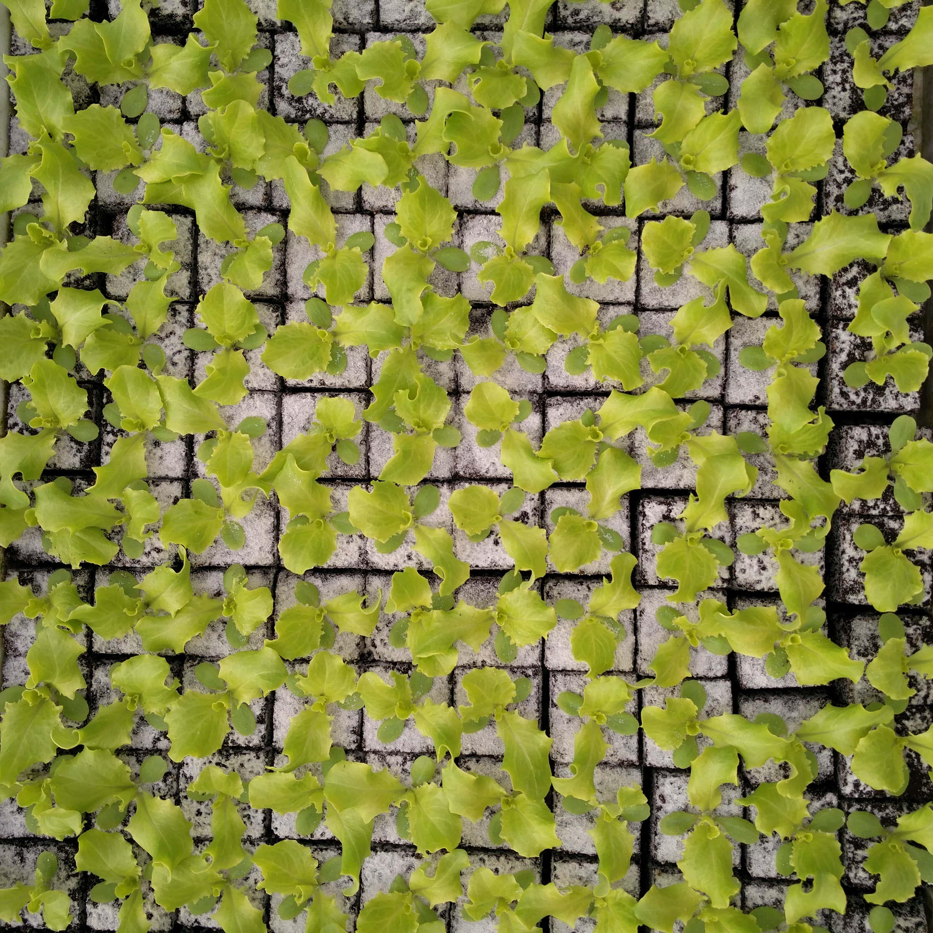 Batavia groen Image